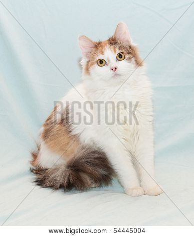 Tricolor fluffy cat with yellow eyes sitting on pale green background poster
