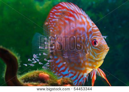 Baby discus fish swimming in freshwater. Discus fishes are native to the Amazon River.
