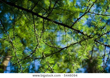 Young Larch Needles