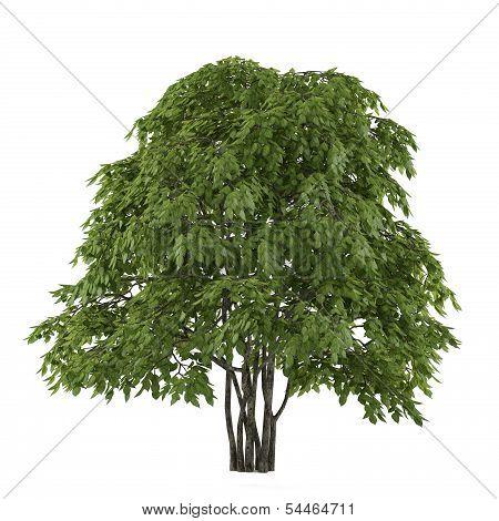 Tree isolated. Staphyella pinnata