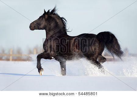 Black horse runs gallop in winter.