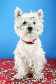 West highland white terrier with confetti at party. poster