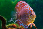 Baby discus fish swimming in freshwater. Discus fishes are native to the Amazon River.  poster