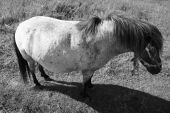 A big mare of a pony in black and white poster