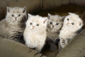 Four small kittens sitting in basket together. poster