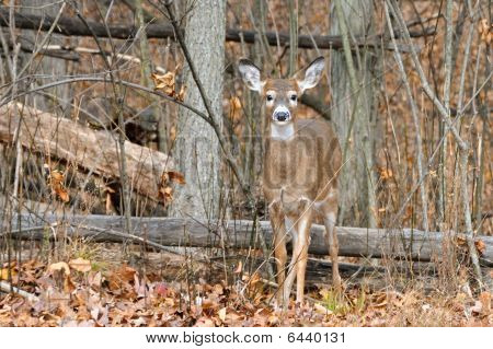 A white-tailed doe standing in her natural habitat. poster