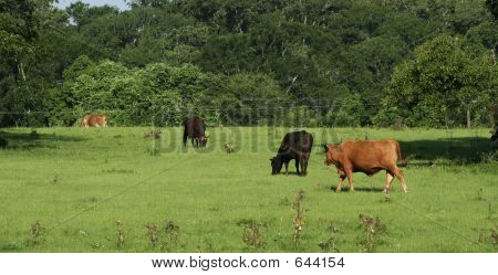 a group of bulls eating and resting poster