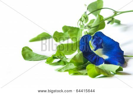 Vine of Clitoria ternatea on white background, Herbal Medicine