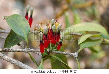 Loranthaceae Flower In  Phu Luang Wildlife Sanctuary, Thailand