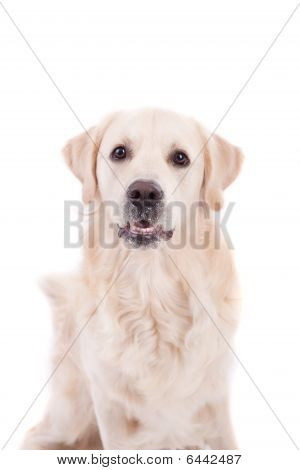 Golden Retriever Portrait - Isolated over white background poster