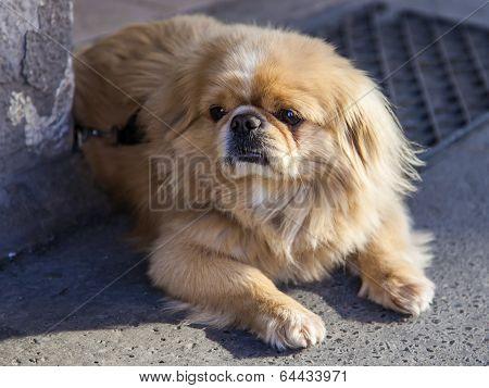 Haired shaggy dog lying on the sidewalk
