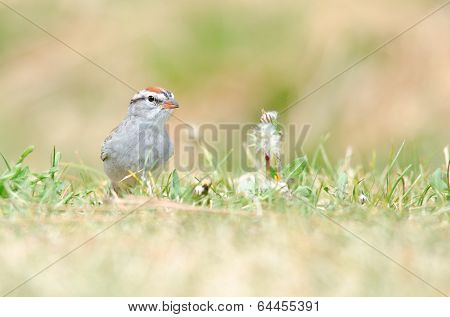 Chipping Sparrow On Grass