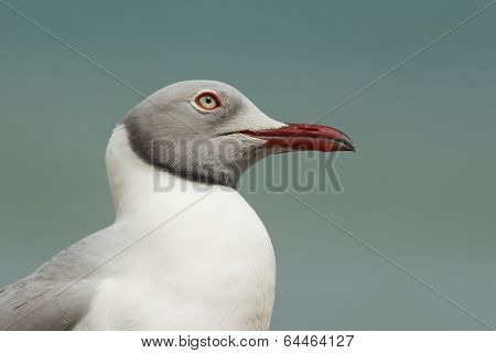 A Very Detailed Portrait Of A Grey-headed Gull (larus Cirrocephalus) Looking Skywards