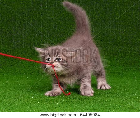 Cute grey kitten playing red thread on artificial green grass