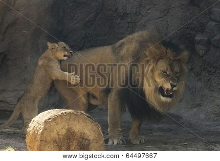 A Male Lion With A Pesky Cub