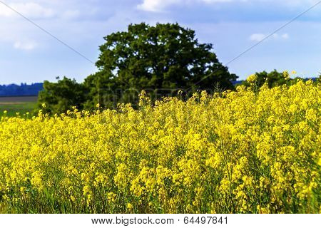 Colorful Rural Landscape With Yellow Bittercress Fields
