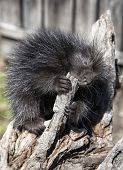 Young, baby porcupine, chewing on wood.  Springtime in Wisconsin. poster