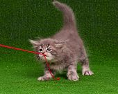 Cute grey kitten playing red thread on artificial green grass  poster
