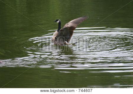 goose spreading wings