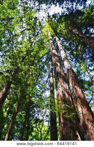 Sunlight In The Sequoia Forest, Muir Woods California