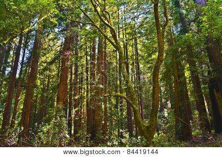 Muir Woods Park, California