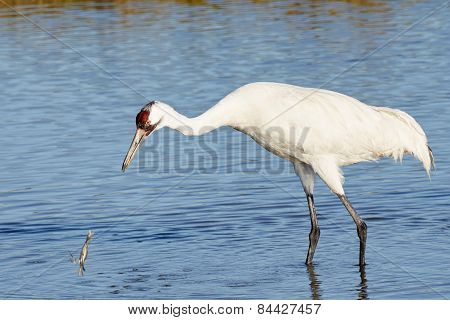 Whooping Crane Looking at Crab Falling into The Water