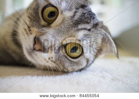 lazy cat looking at camera with big eyes poster