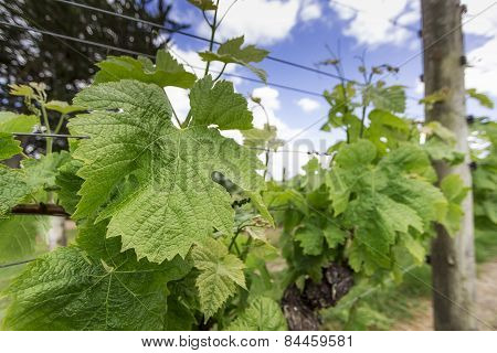 Wineyard In Spring