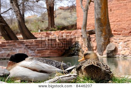 Mallards Resting at the Edge of a Pond - Pipe Springs poster