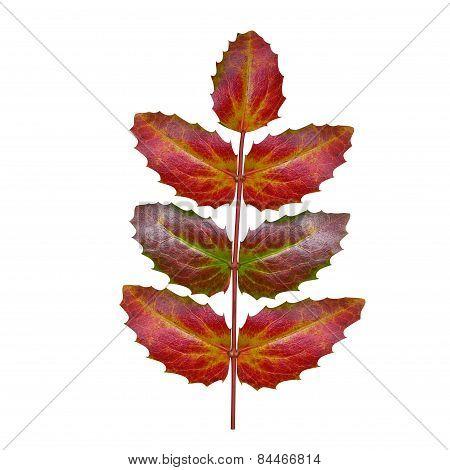 Oregon grape leaf