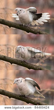 Dove (streptopelia decaocto)-Bird gymnastics