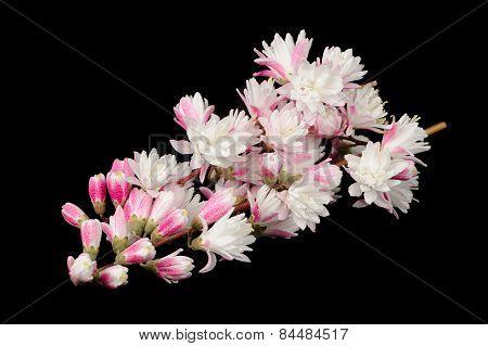 Fuzzy Deutzia Flowers On Black Background