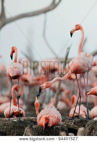 Colony of Great Flamingo. Flamingo (Phoenicopterus ruber) on the nest. Rio Maximo, Camaguey, Cuba. poster
