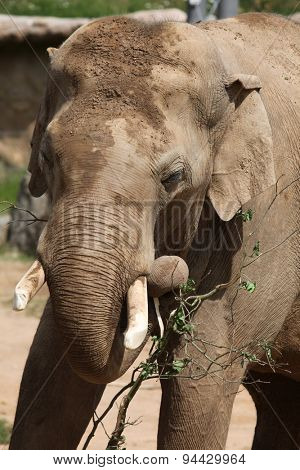 Indian elephant (Elephas maximus indicus) uses trunk to eat green branch. Wildlife animal.