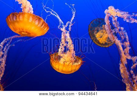 Floating Jelly Fish