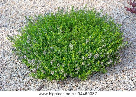 Small Green Bush.