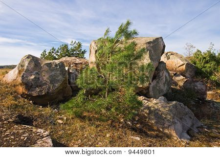 Young Pine Tree By The Stone Pile