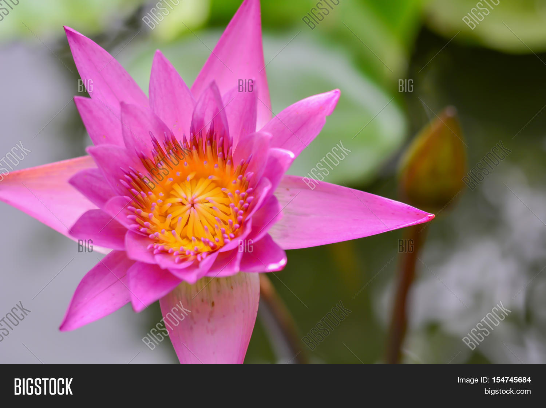 Lotus flower garden image photo free trial bigstock lotus flower garden closeup thailand pond lilies izmirmasajfo