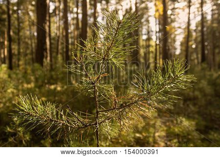 Forest view with a fir tree branches and a spiderweb in focus.