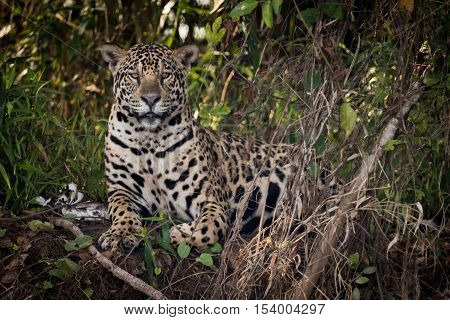 Jaguar Lying Down In Undergrowth Faces Camera