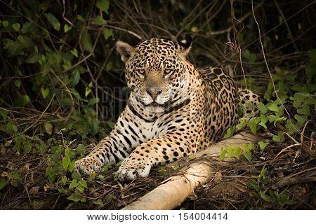 Jaguar Lying Beside Log In Leafy Undergrowth