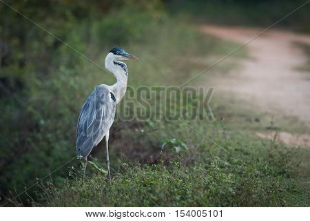 Cocoi Heron Walking Through Undergrowth By Track