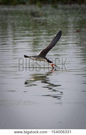 Black Skimmer Fishing With Beak In Water