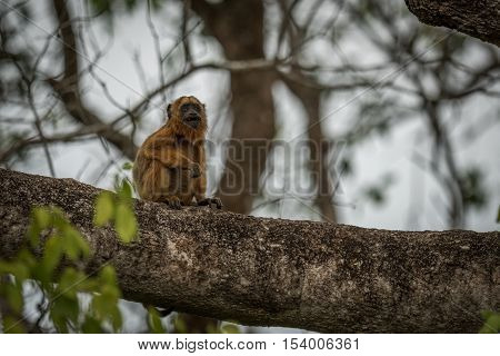 Baby Black Howler Monkey Sitting In Tree