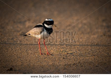 Pied Plover On Beach In Golden Light