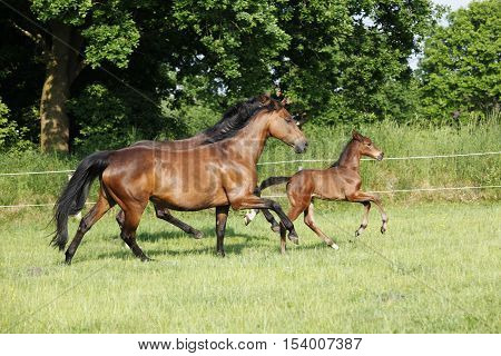 two brown Holsteiner trot with her young foal on the pasture