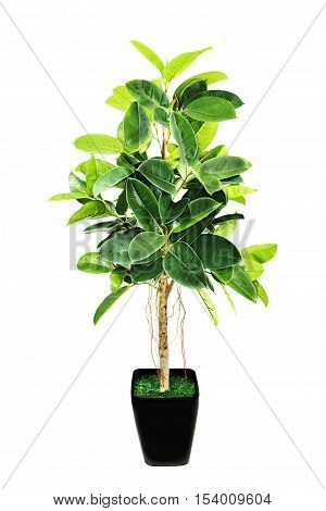 Ficus elastica Indian Rubber Bush in black flowerpot on white background.