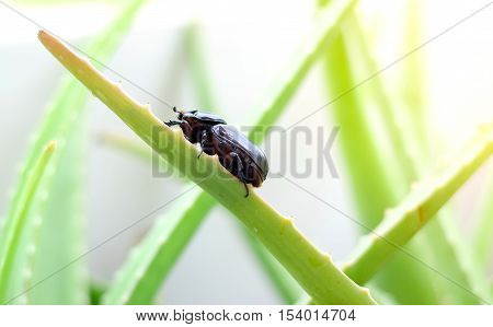 Scarab or Beetle perched on the stem of aloe vera.