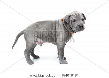 One month old thai ridgeback puppy dog in orange collar standing. Isolated on white. Copy space.