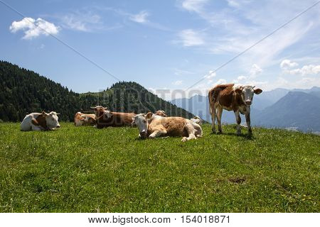 Schafberg / Cows graze on the Alpine meadows